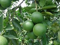 10-17 JARDIN D'EDEN _Oranges douces