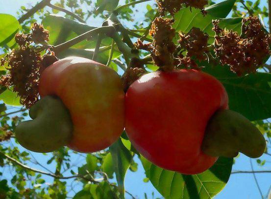 10-17 JARDIN D'EDEN _Pomme Cajou